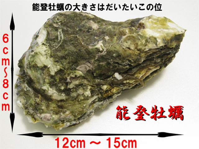 能登牡蠣の大きさ